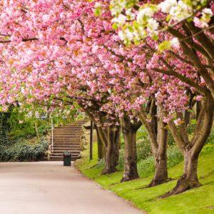 taman sakura kebun raya bogor